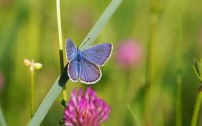 Picture summer, grass, butterfly, clover