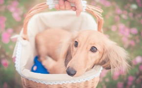 Picture look, basket, dog