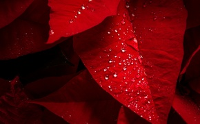 Picture leaves, water, drops, Rosa, color