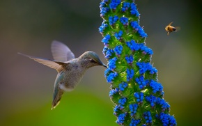 Picture flower, nature, bird, Hummingbird