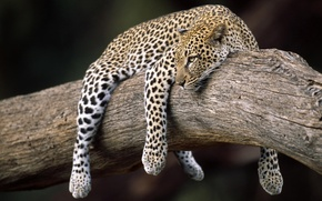Picture leopard, on the tree, weighs