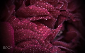 Wallpaper drops, macro, rose, petals