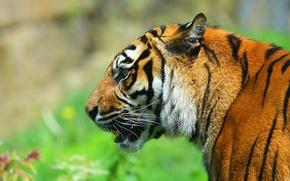 Picture face, tiger, predator, profile
