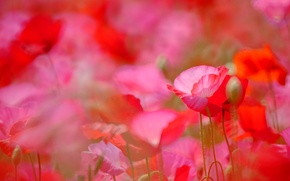Picture red, Maki, meadow