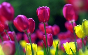 Picture petals, stem, tulips, flowerbed