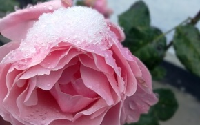 Wallpaper flowers, roses, winter, snow, nature