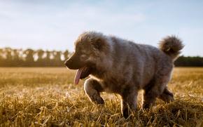 Wallpaper dog, puppy, field, the stubble, The Caucasian shepherd dog, language