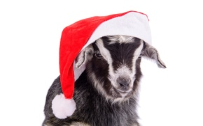 Picture hat, New Year, goat, New Year, goat, 2015, santa hat, the year of the goat