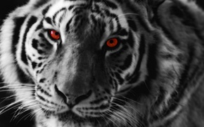 Picture eyes, look, tiger, predator