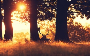 Picture forest, sunset, nature, deer