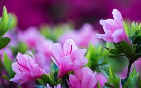 Picture macro, flowers, petals, Azalea