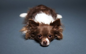 Picture look, background, Dog, floor, lies, Chihuahua