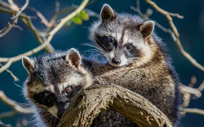 Picture branches, a couple, raccoons