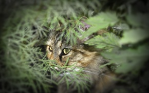 Picture greens, eyes, cat, face, nature, foliage