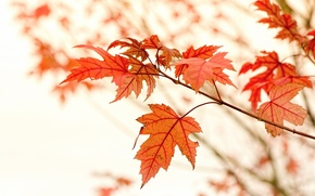 Picture Autumn, Macro, Branches, Nature, Maple, Leaves
