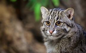 Picture cat, portrait, predator, muzzle, wild cat, cat-fisherman