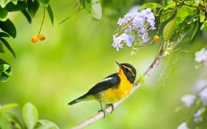 Picture bird, branch, flowers, Duranta, Japanese Flycatcher