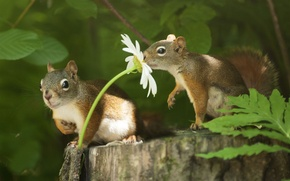 Picture animals, flower, summer, leaves, nature, stump, Daisy, pair, proteins, rodents
