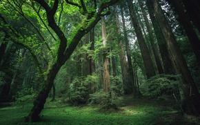 Wallpaper forest, grass, trees, moss, Sequoia