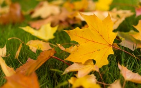 Picture autumn, leaves, macro, background, widescreen, Wallpaper, yellow leaves, leaf, wallpaper, leaves, leaf, widescreen, leaves, background, ...