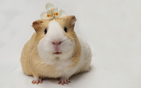 Picture nature, background, Guinea pig
