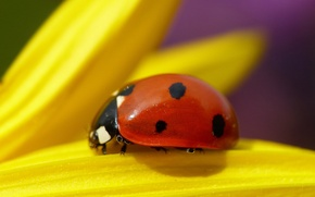 Picture flower, plant, ladybug, beetle, petals, insect