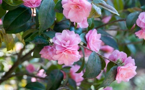 Picture branches, flowering, Camellia