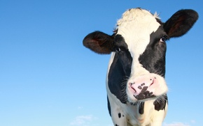 Picture the sky, nature, animal, cow