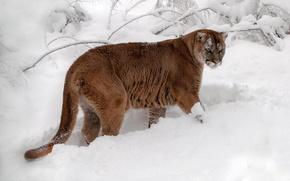 Picture snow, Puma, mountain lion, Jaguar