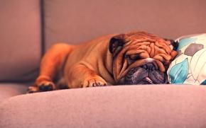Picture puppy, bulldog, French bulldog