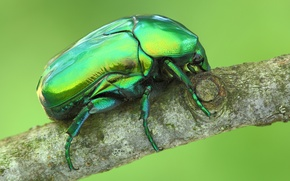 Picture tree, beetle, branch, insect, Wallpaper from lolita777, brantovka Golden