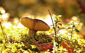 Picture autumn, forest, mushroom