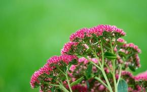 Picture leaves, nature, plant, Bush, inflorescence
