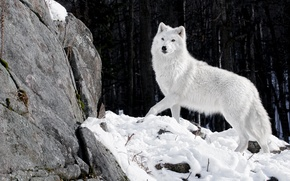 Picture winter, forest, white, snow, nature, stones, wolf, predator, wolf