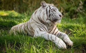 Picture cat, grass, profile, white tiger