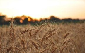 Picture wheat, field, macro, background, widescreen, Wallpaper, rye, blur, spikelets, wallpaper, ears, widescreen, background, spike, full ...