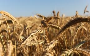 Picture wheat, field, summer, landscape, ear