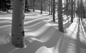 Picture snow, winter, aspen, trees, grove, forest