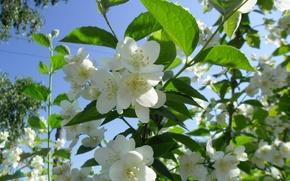 Picture greens, summer, the sky, nature, heat, village, Jasmine