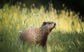Picture field, summer, grass, flowers, marmot