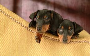 Picture interest, puppies, two, dachshund, Dachshund