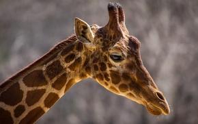 Picture face, background, animal, widescreen, Wallpaper, head, giraffe, spot, wallpaper, neck, widescreen, background, face, animal, full …