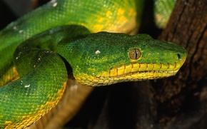Picture eyes, snake, scales, green