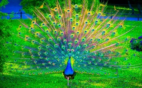 Picture peacock, nature, birds, color