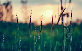 Picture grass, the sun, sunset, focus, spikelets