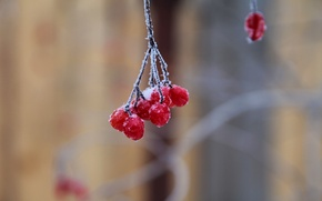 Picture winter, frost, macro, snow, nature, berries, frost, bunch, red, red, winter, Berry, berries, Kalina