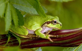 Wallpaper leaves, pose, green toad
