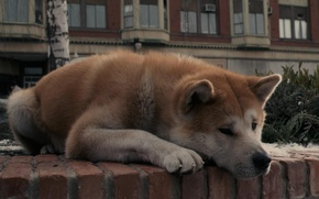 Picture sadness, dog, dog, lies, waiting, Akita inu, Hachiko:the most loyal friend