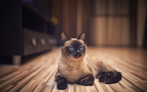 Picture cat, cat, room, Siamese