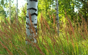 Picture forest, grass, trees, blur, birch